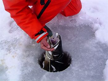 winter lake trout and tube jigs - ontario fishing, Fly Fishing Bait